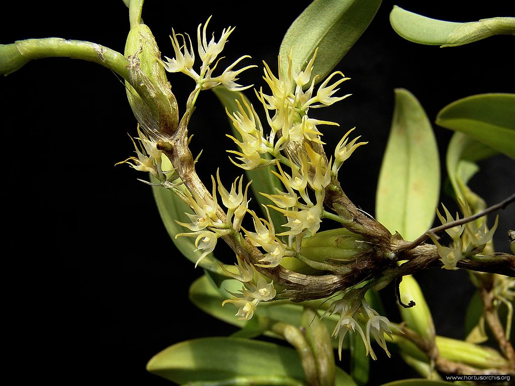 Bulbophyllum cauliflorum 2