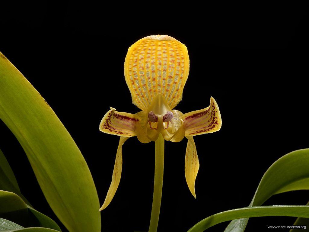 Bulbophyllum dearei 2