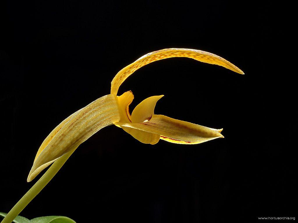 Bulbophyllum dearei 3