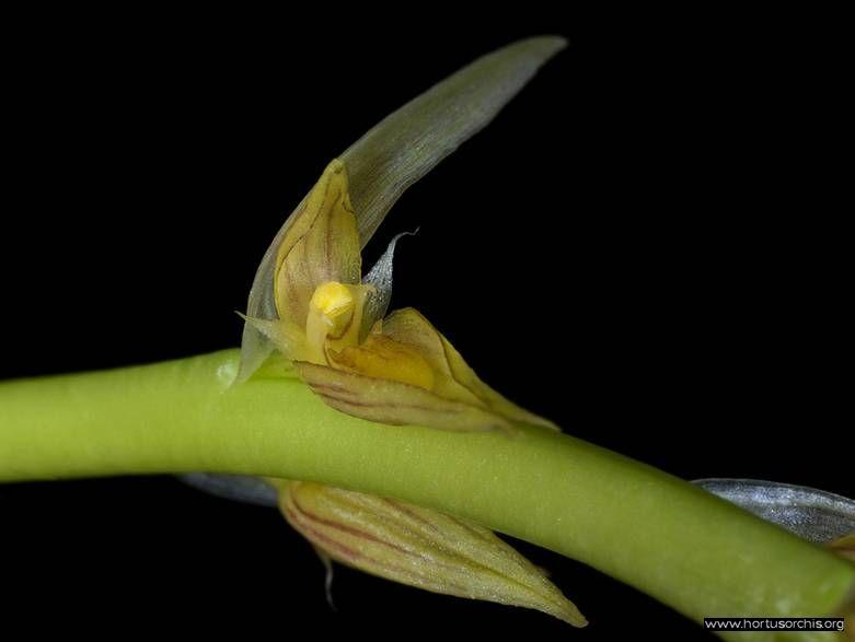 Bulbophyllum macrocoleum