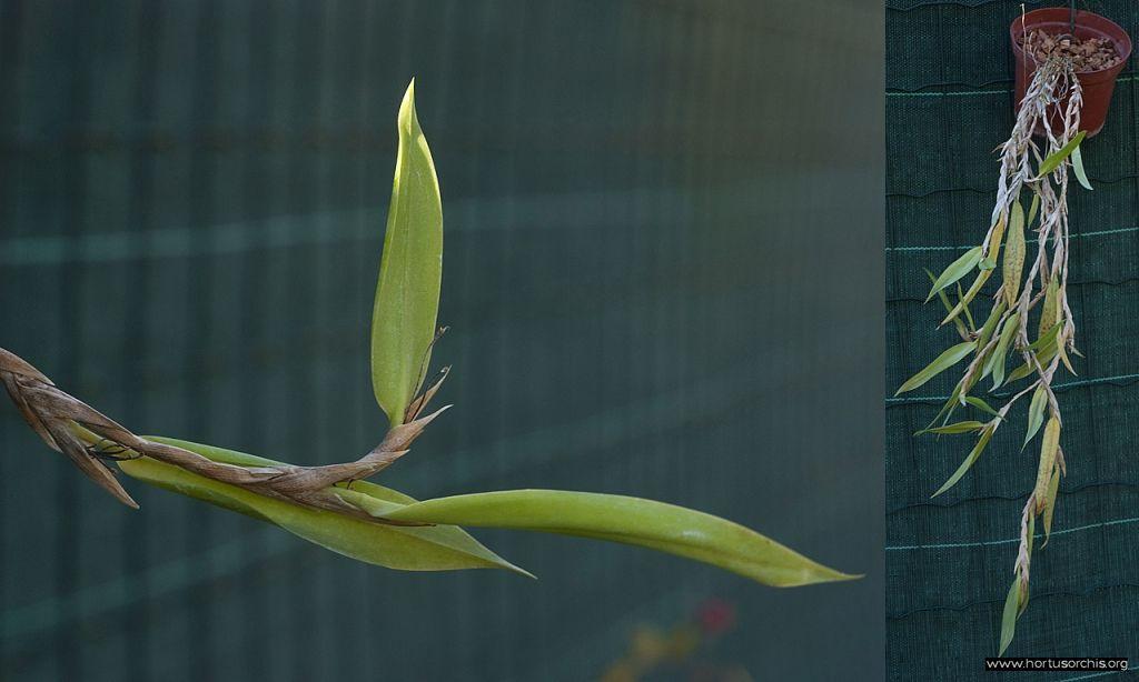 Bulbophyllum perpendiculare