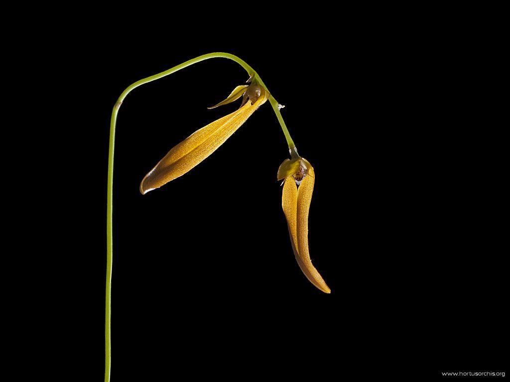 Bulbophyllum refractum