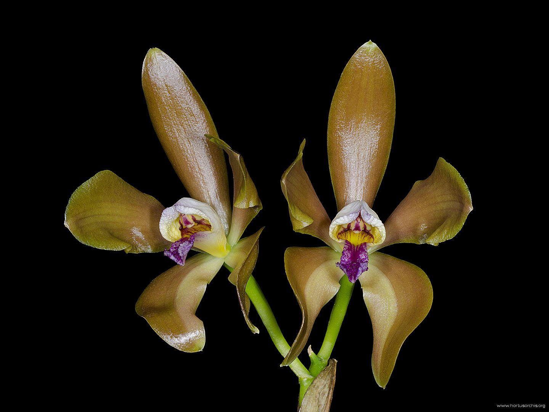 Cattleya porphyroglossa