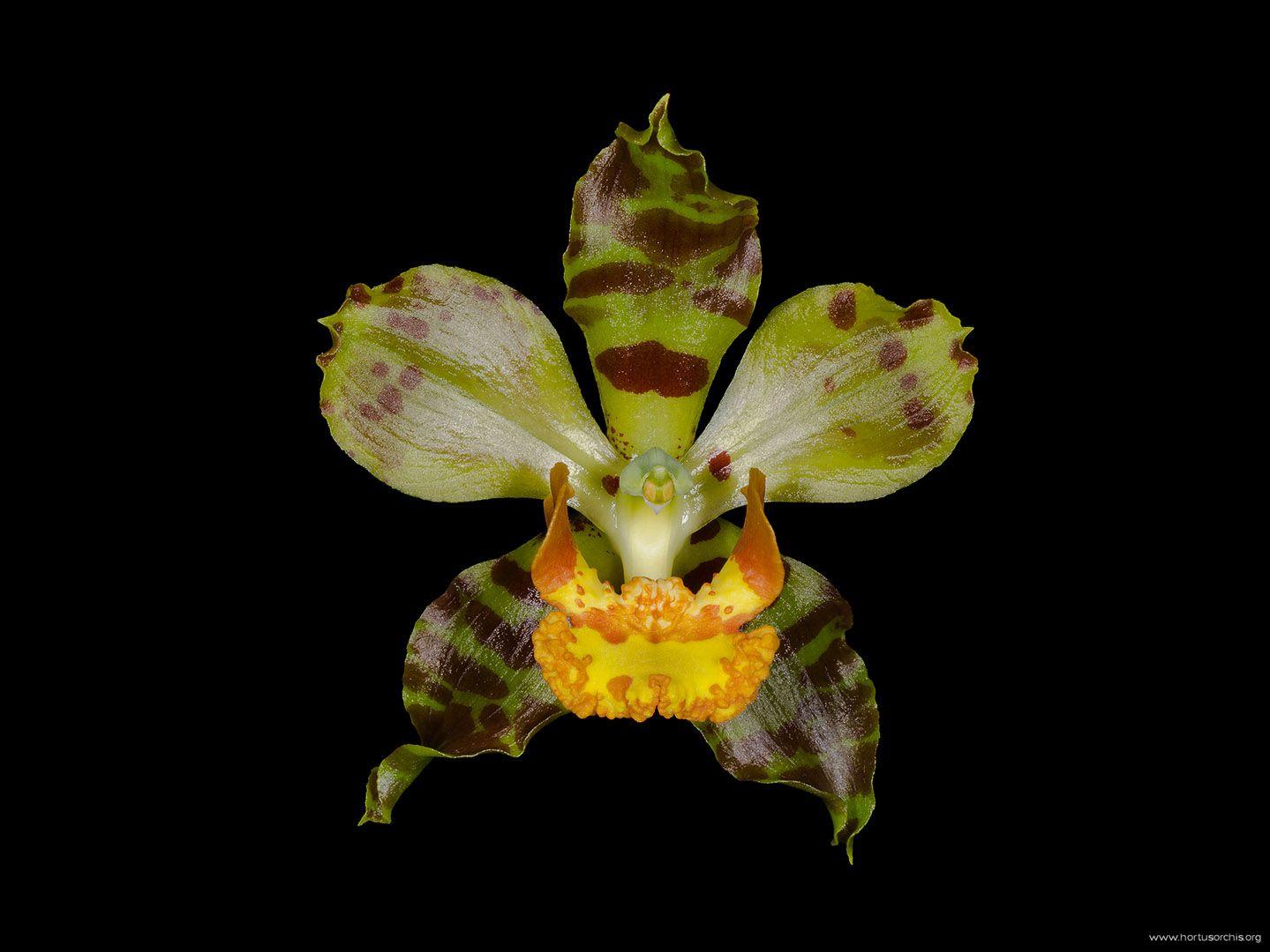 Cyrtopodium paniculatum