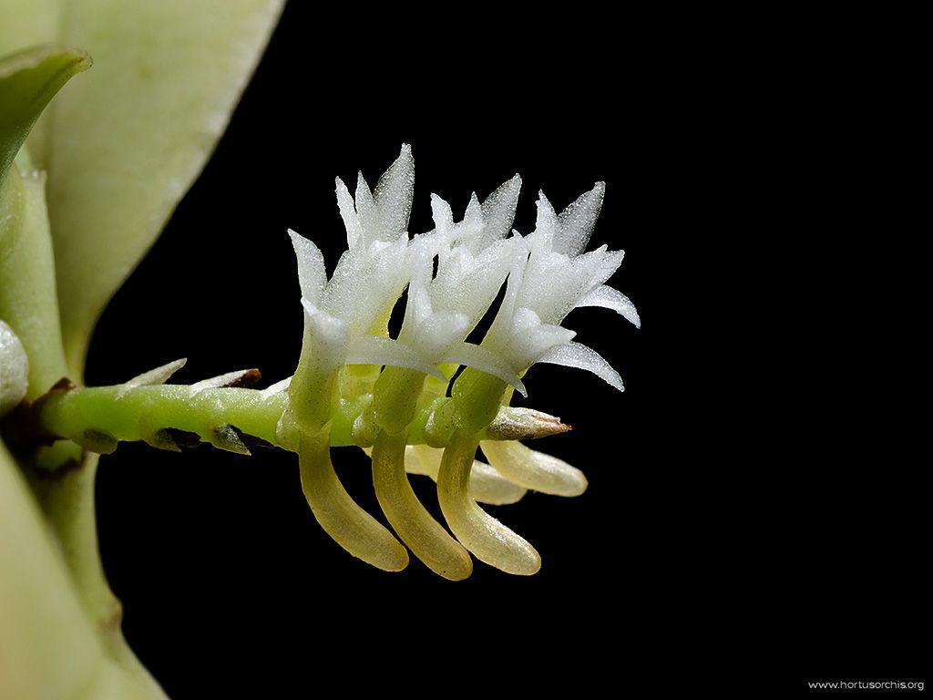 Campylocentrum colombianum