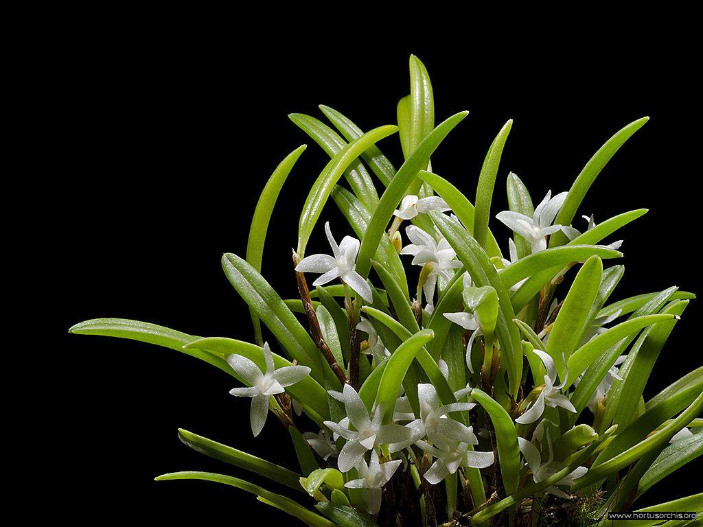 Ceratostylis philippinensis 2