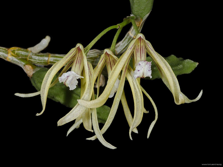 Dockrillia cucumerina