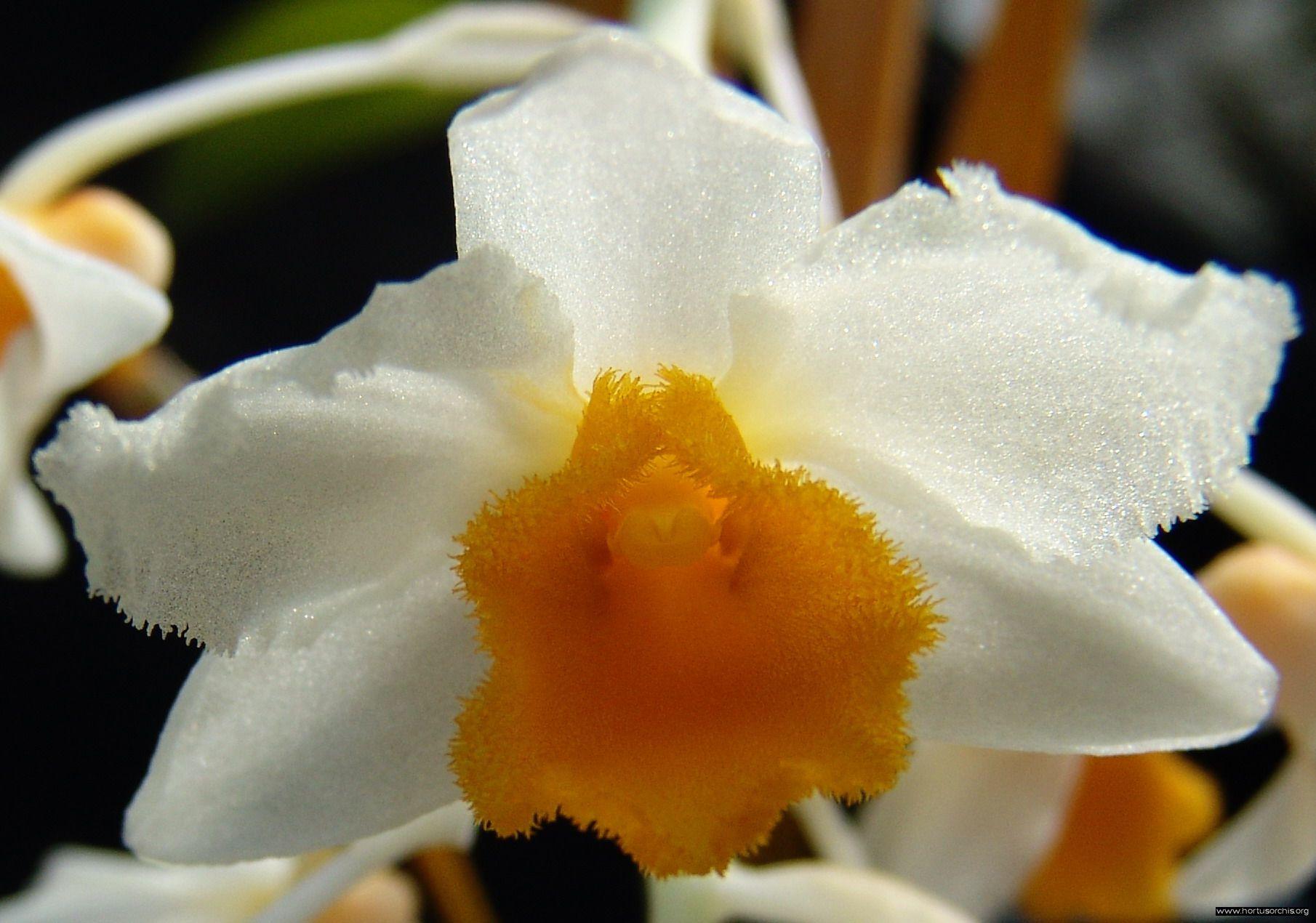 Dendr. griffitianum 1
