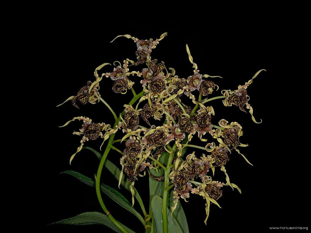 Dendrobium spectabile  2