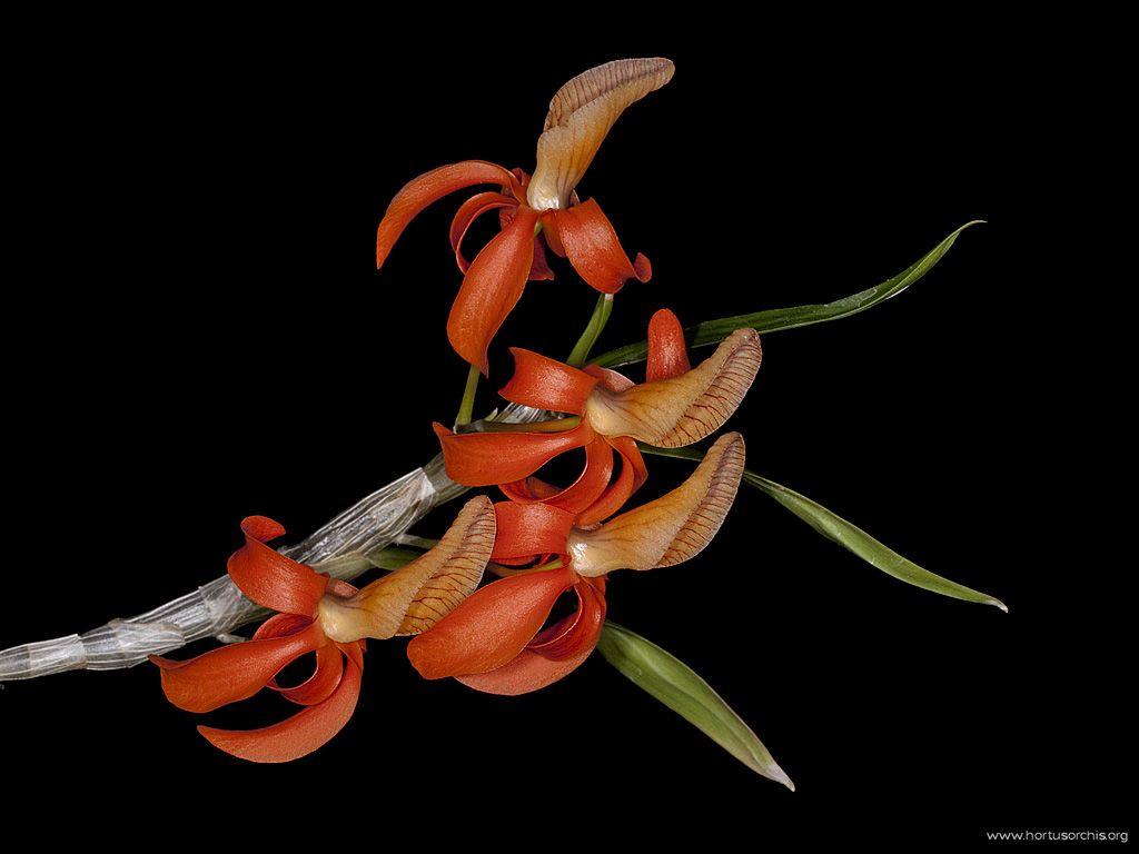 Dendrobium unicum 3