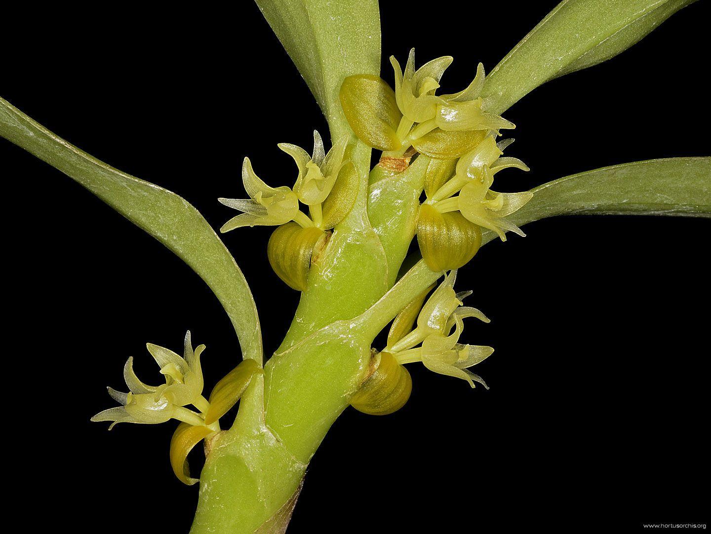 Eria biflora