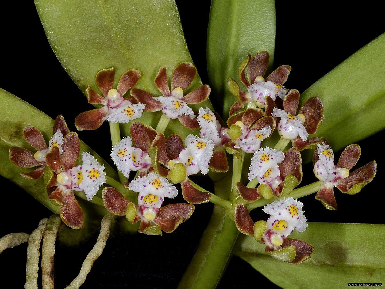Gastrochilus acutifolius 2