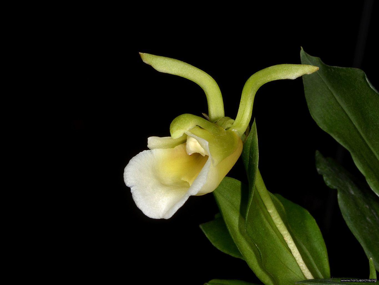 Ixyophora viridisepala