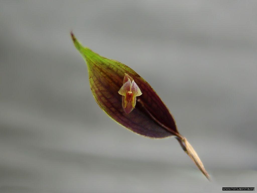 Lepanthes amphioxa