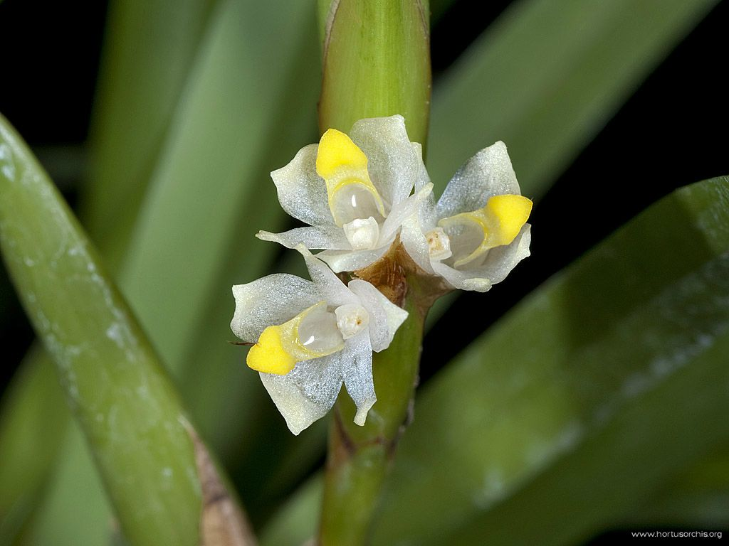 Maxillaria parviflora 2
