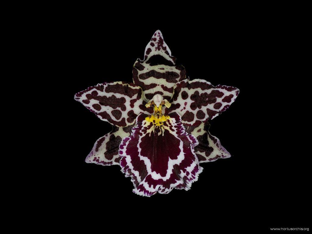 Odontoglossum Margarete Holm 1
