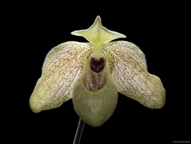 Paphiopedilum malipoense x concolor