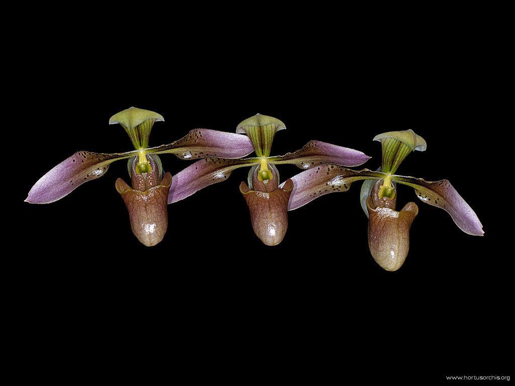 Paphiopedilum appletonianum 2