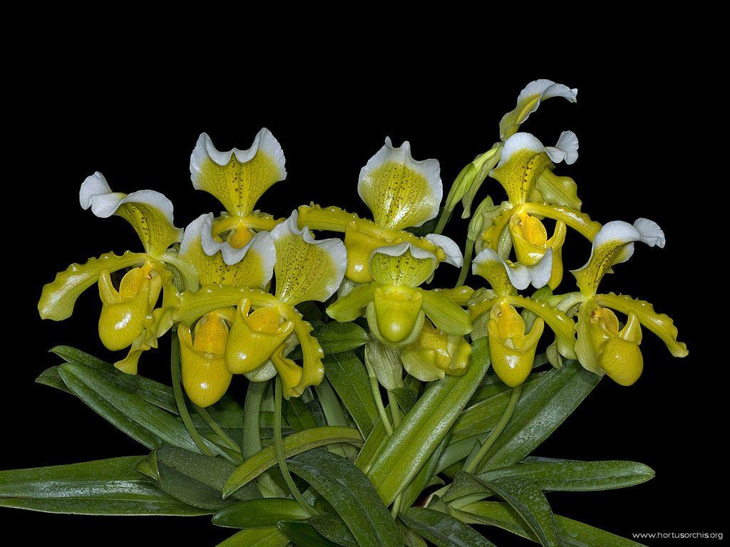 Paphiopedilum insigne f. sanderae