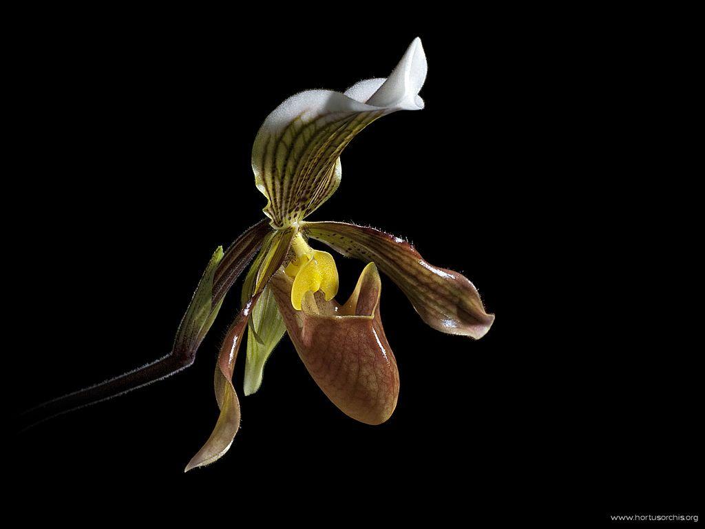 Paphiopedilum javanicum