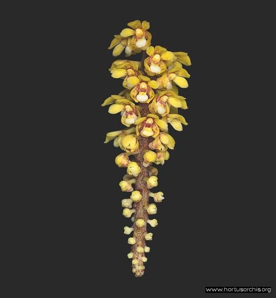 Pomatocalpa spicata