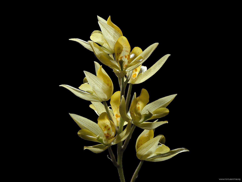 Soterosanthus shepheardii 2