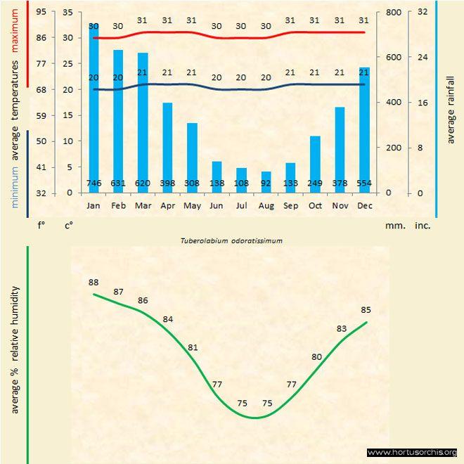 Tuberolabium odoratissimum b gr uk