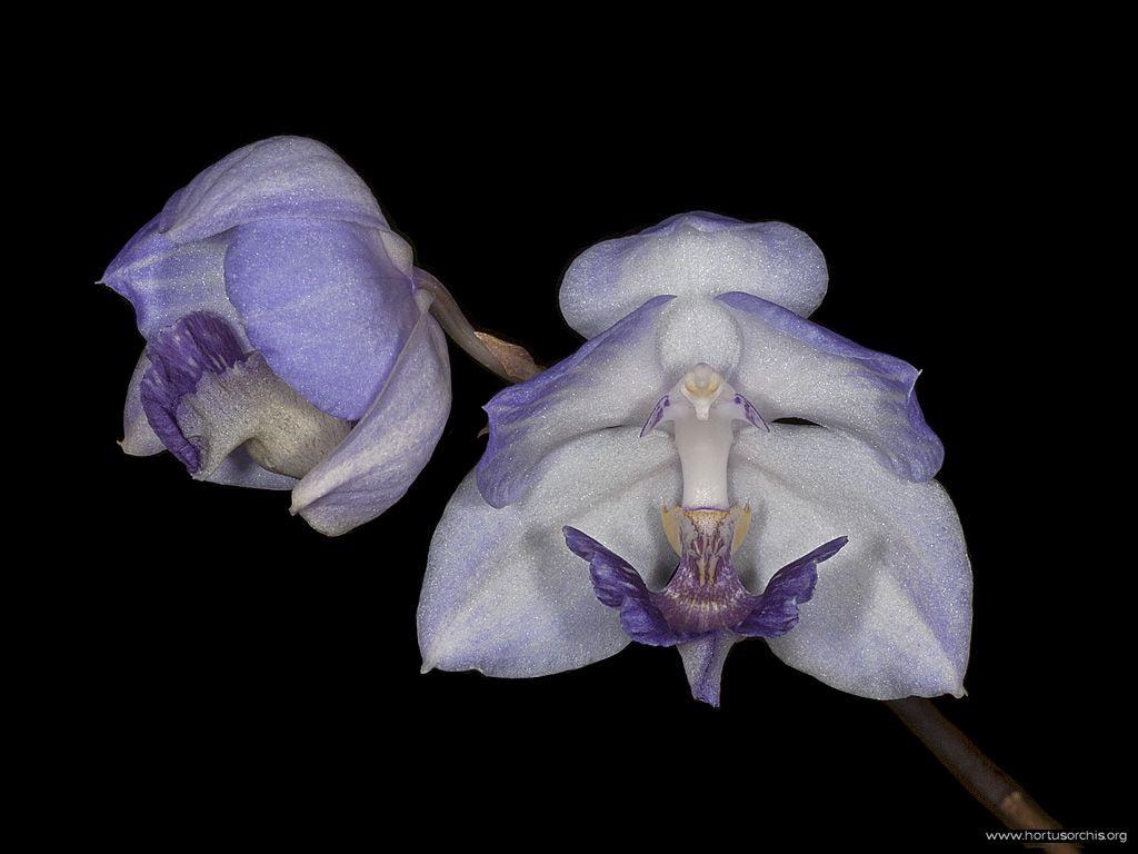 b_0_0_0_10_images_stories_foto-specie-botaniche_Acacallis_cyanea.jpg