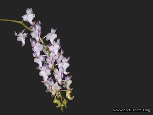 Aerides odoratum .1