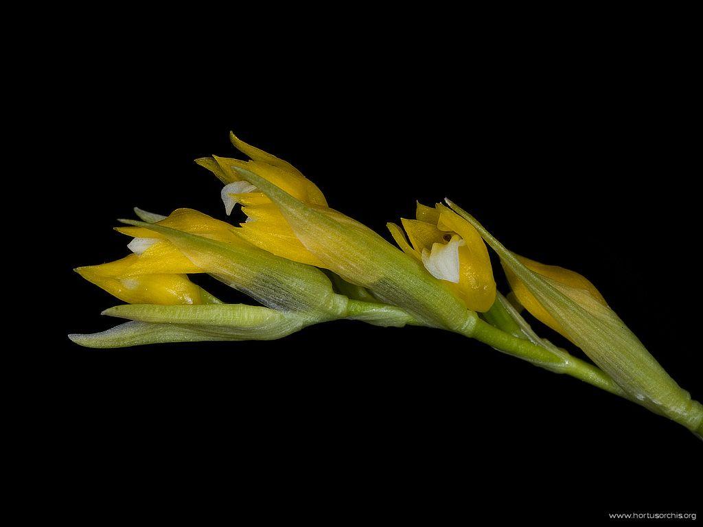 Brachtia andina