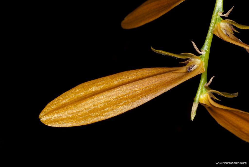 Bulbophyllum Khaoyaiensis 2
