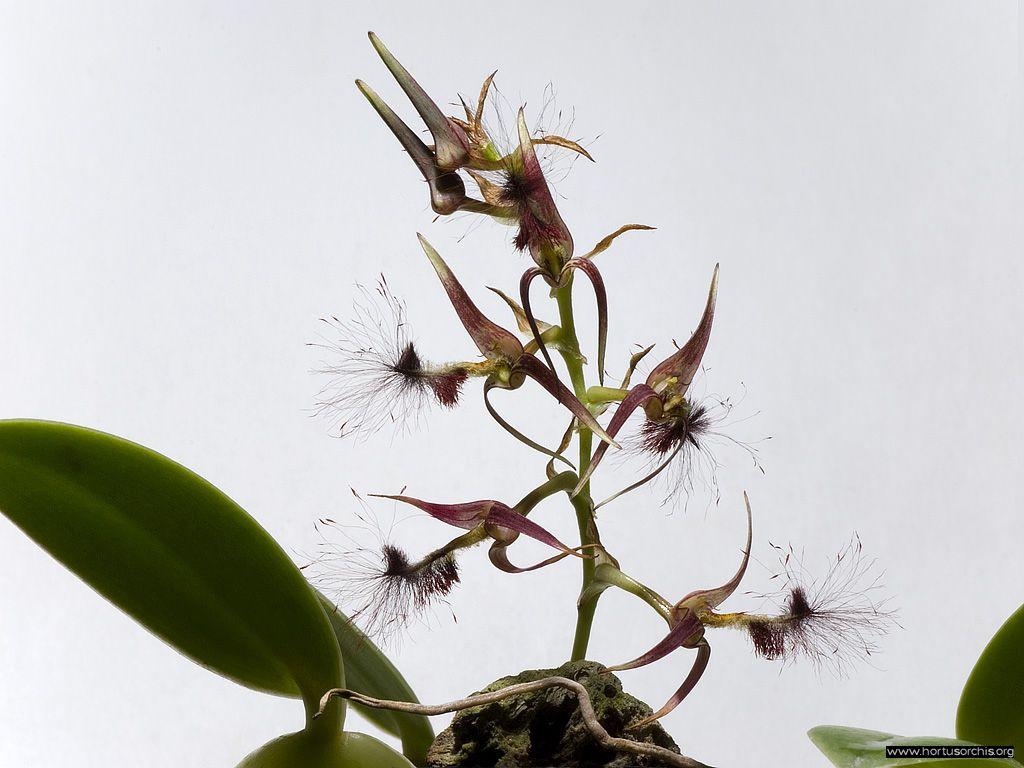 Bulbophyllum barbigerum