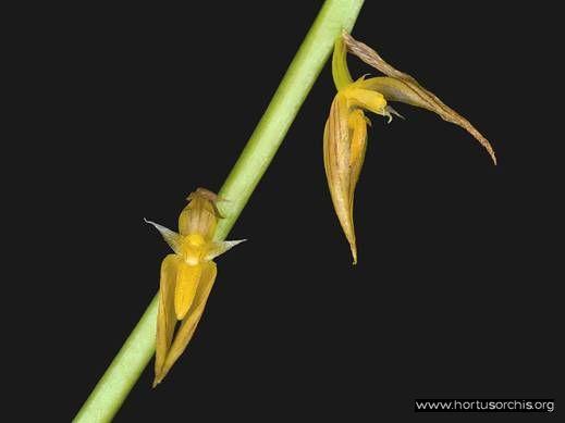Bulbophyllum hirtum