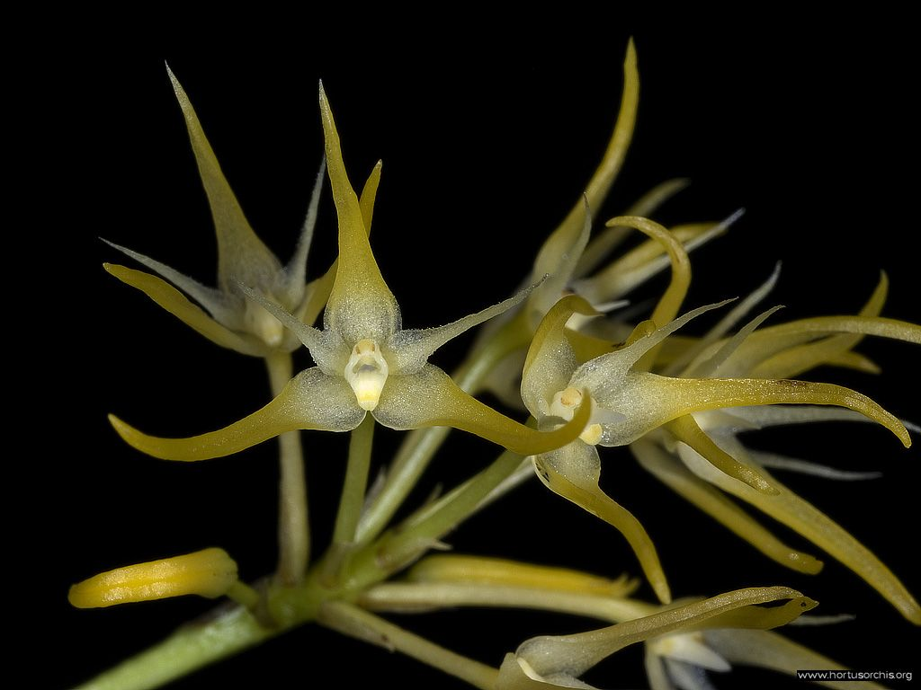 Bulbophyllum laxiflorum
