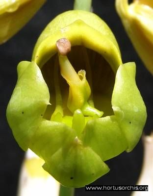 b_0_0_0_10_images_stories_foto-specie-botaniche_Catasetum_macrocarpum_1.jpg