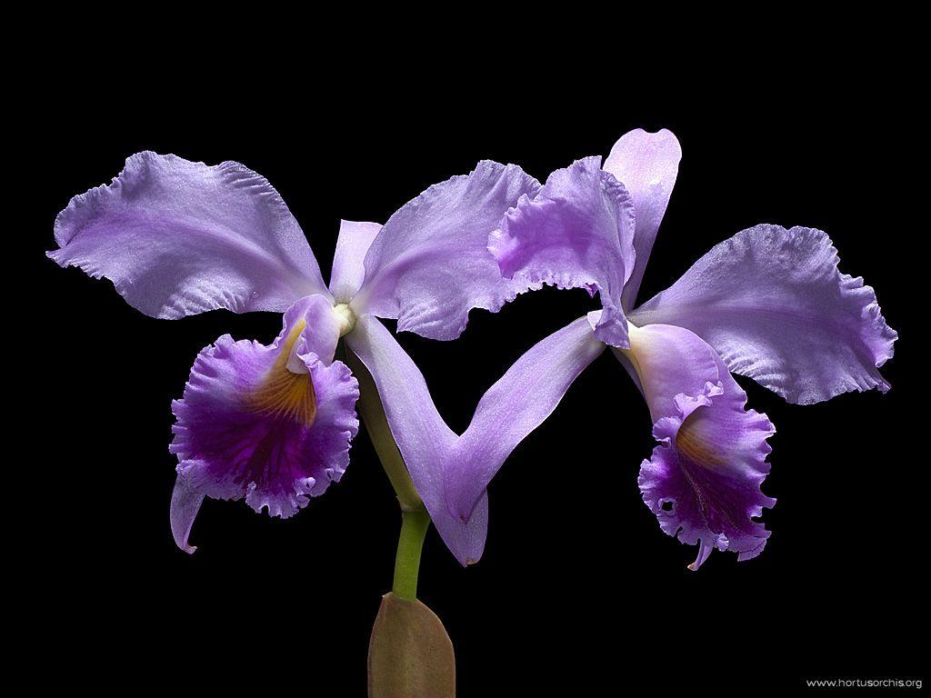 Cattleya jenmanii 2