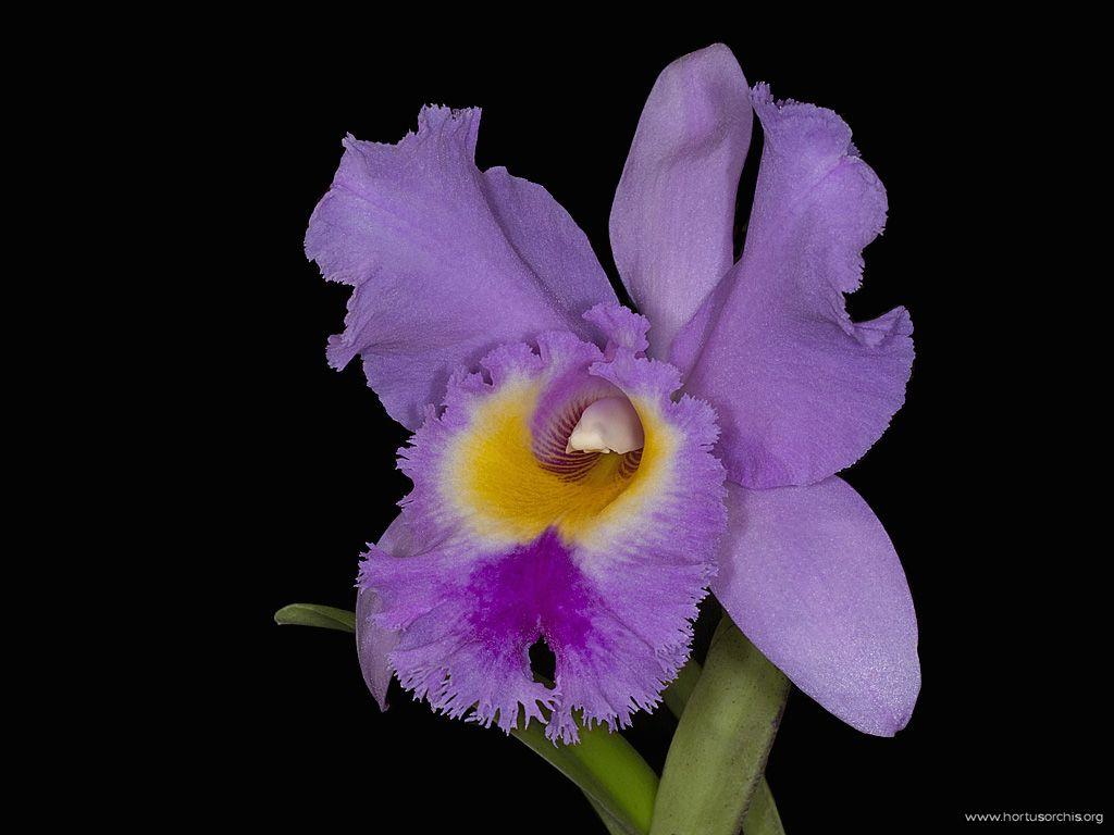 Cattleya warscewiczii