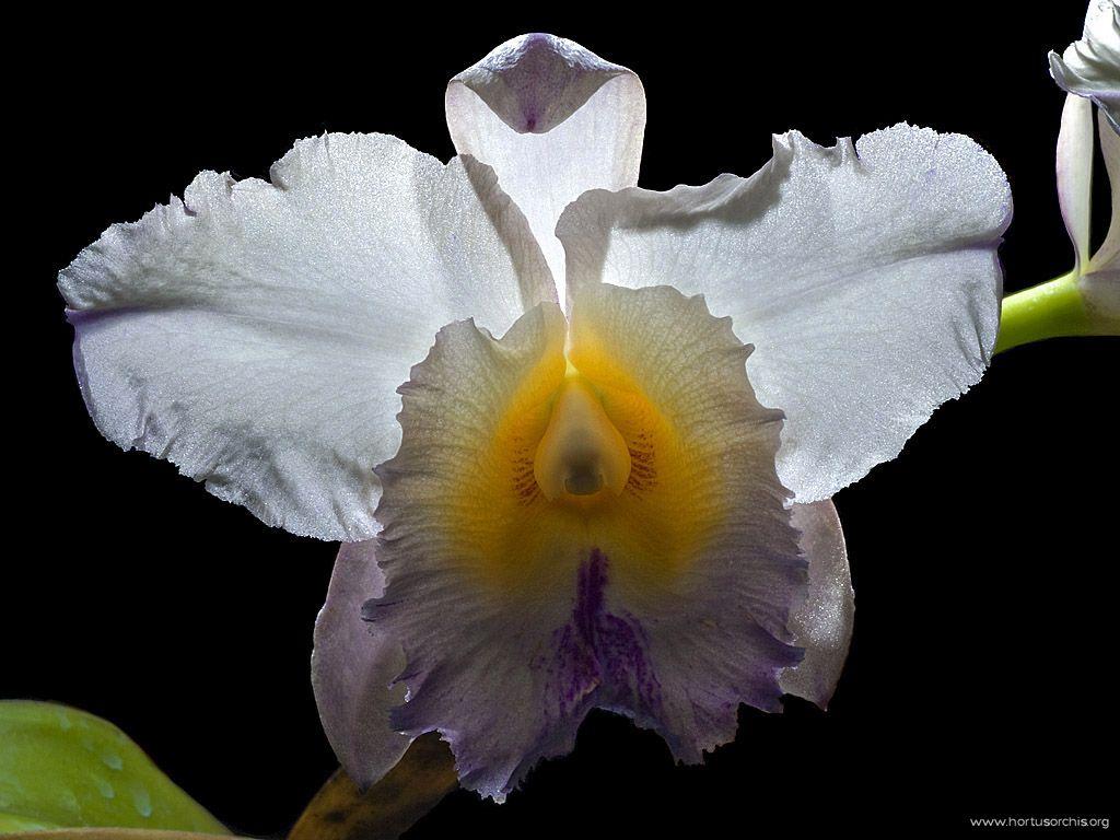 Cattleya warscewiczii var mendeli