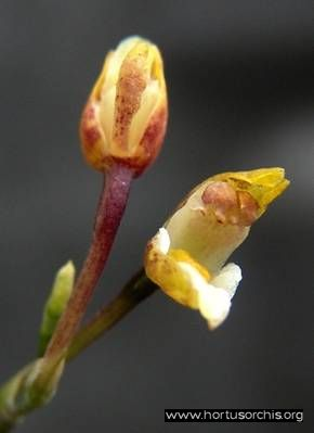 b_0_0_0_10_images_stories_foto-specie-botaniche_Caucacea_radiata.jpg