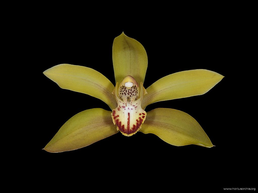 Cymbidium lowianum var. iansonii