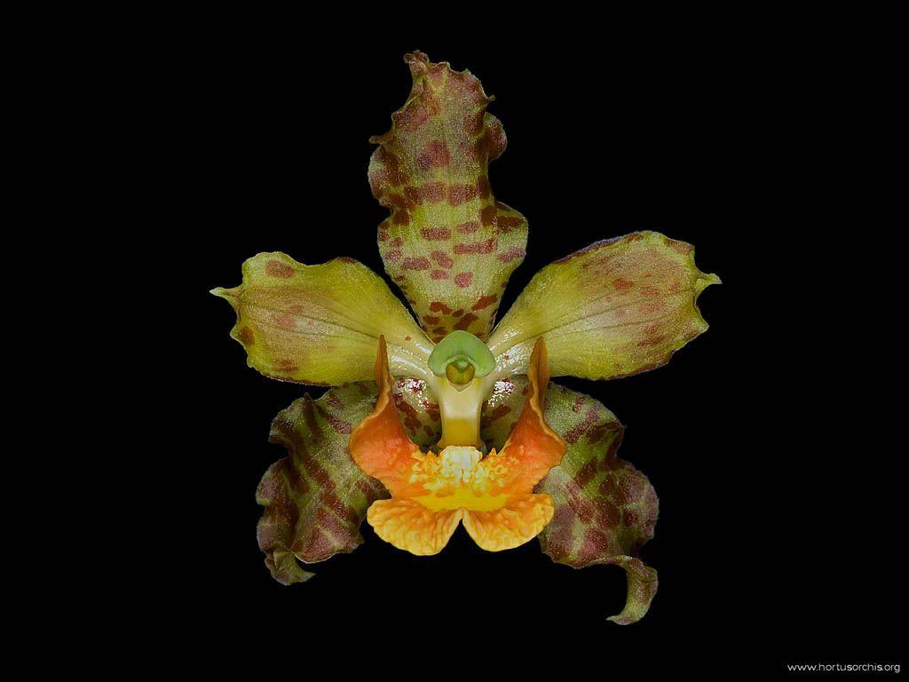 Cyrtopodium punctatum
