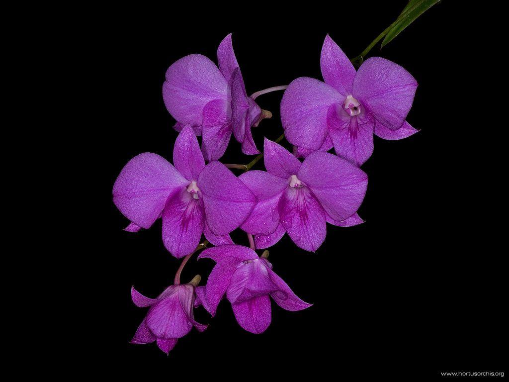 Dendrobium compactum