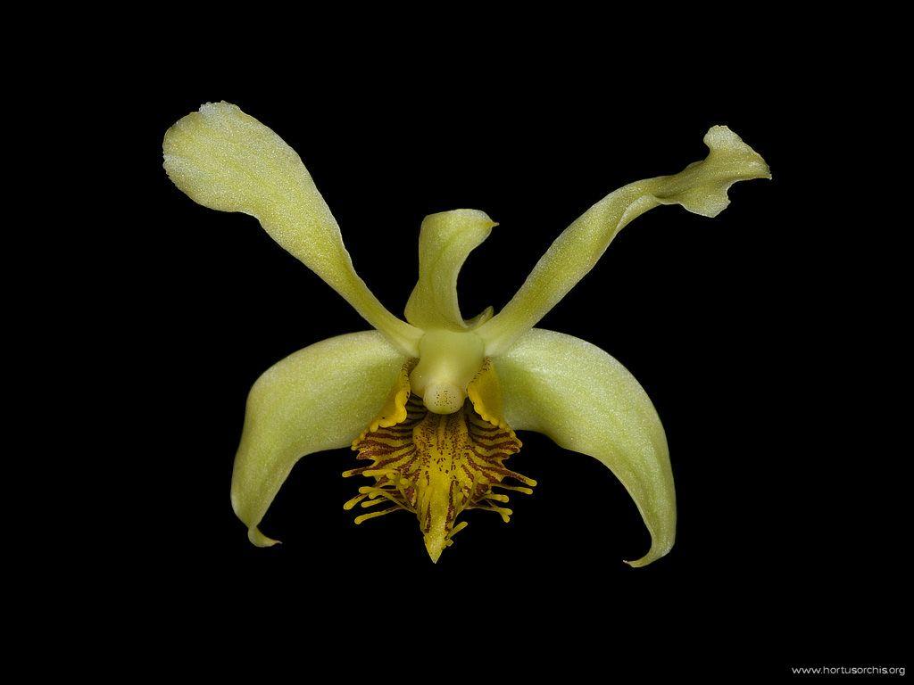 Dendrobium delacouri