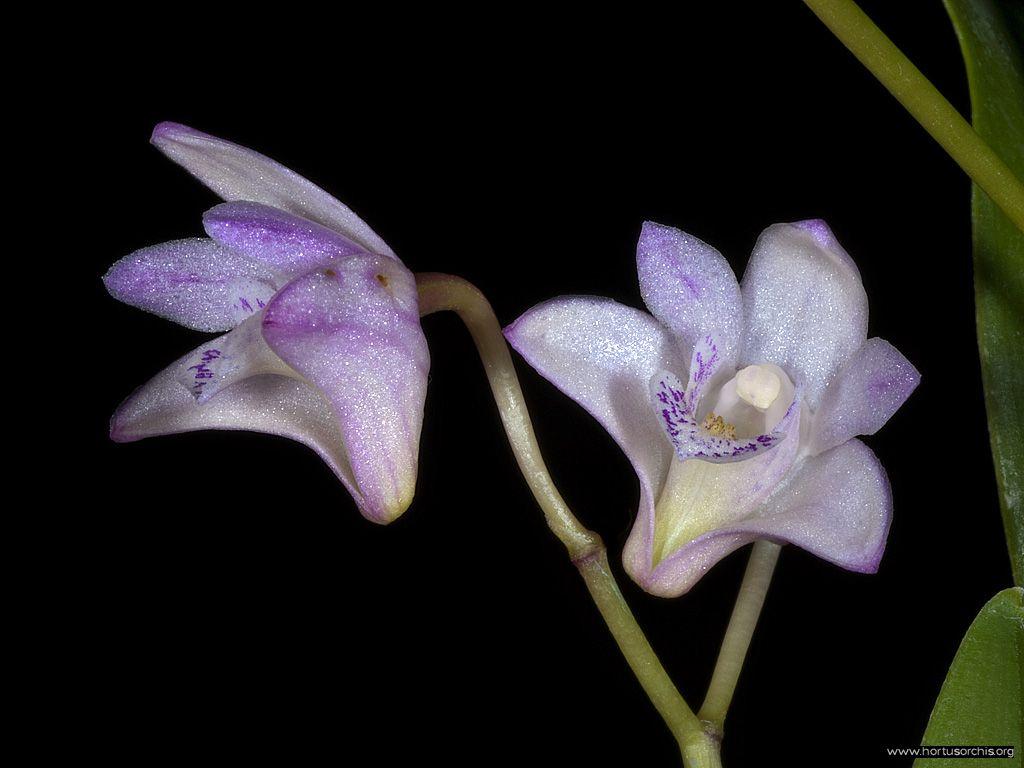 Dendrobium kingianum .2