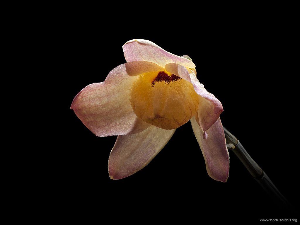 Dendrobium moschatum roseo