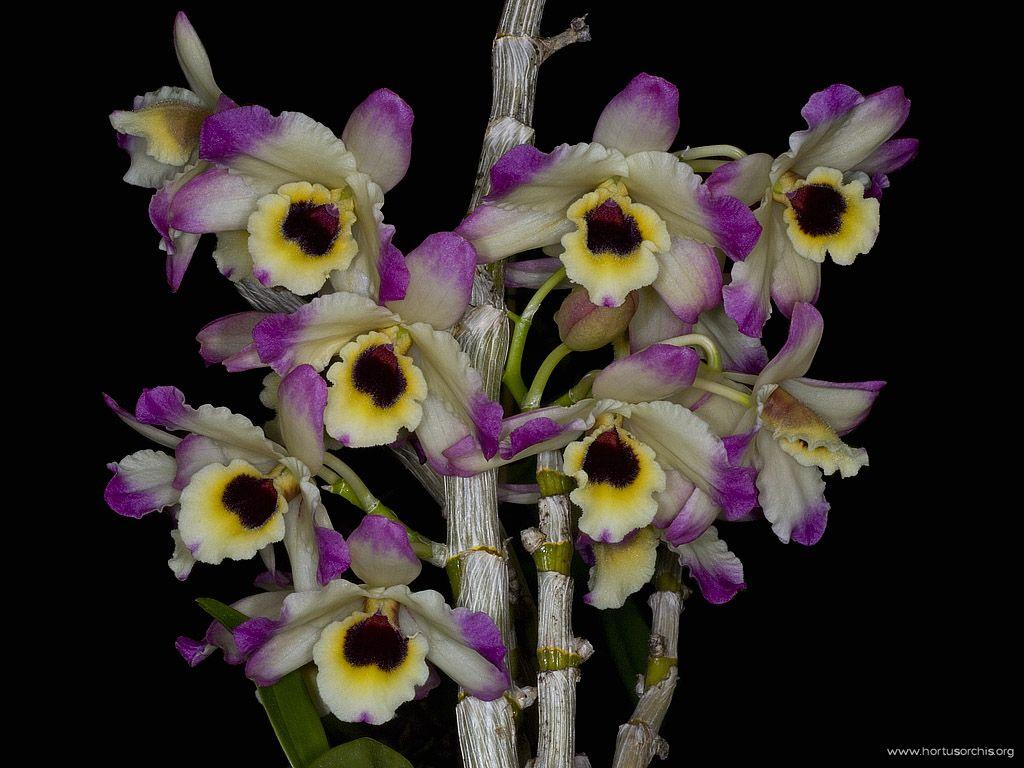 Dendrobium nobile var cooksonianum