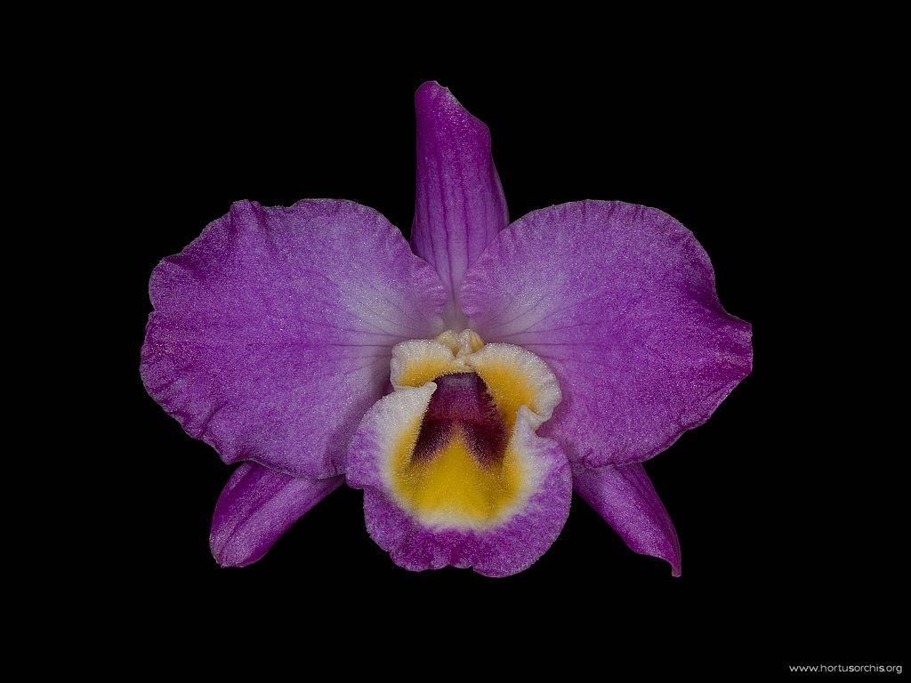 Dendrobium nobile var splendens