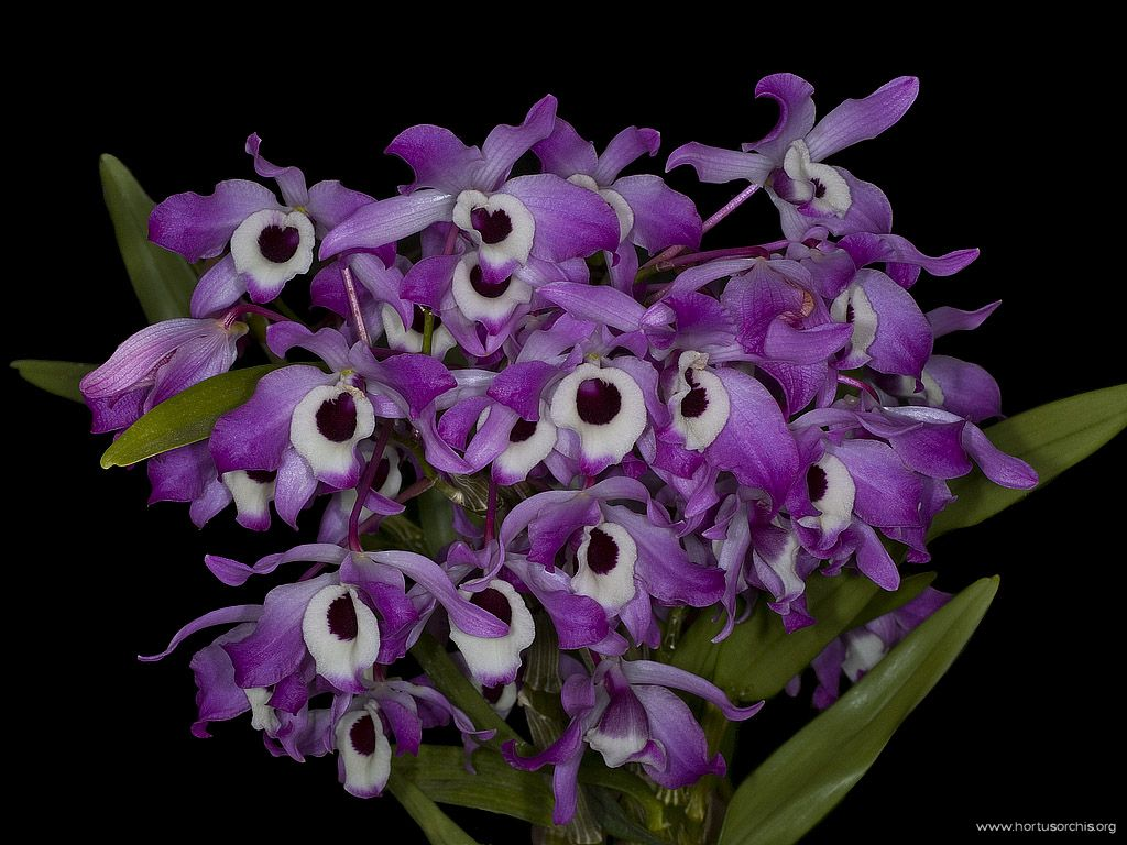 Dendrobium nobile var tollianum