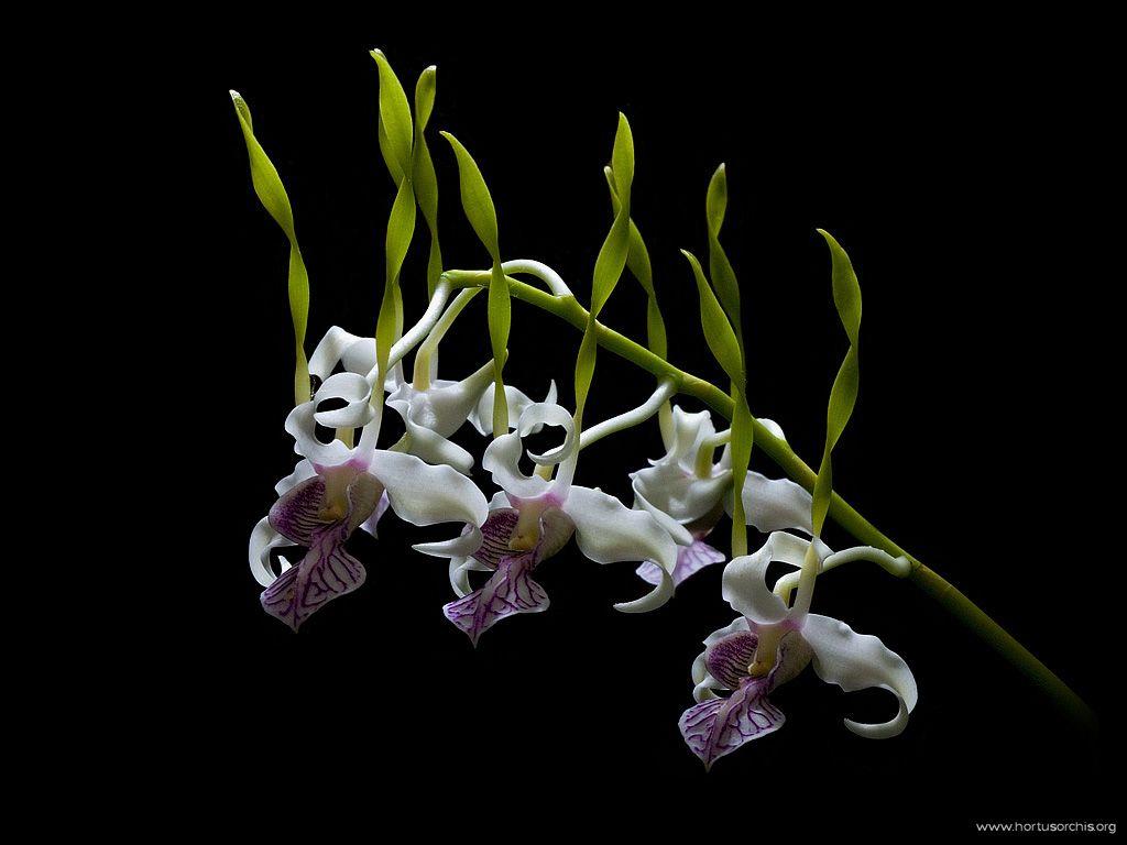 Dendrobium stratioides