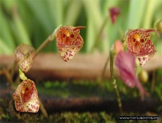 b_0_0_0_10_images_stories_foto-specie-botaniche_D-K_Dracula_mopsus.jpg